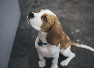 white and brown Beagle