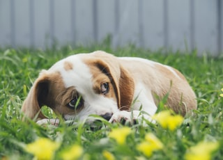 brown and white puppy lying on green grass with yellow flowers