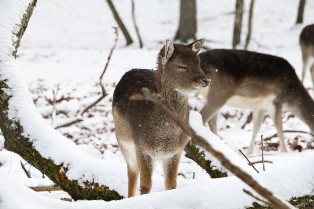 brown deer near tree trunk covered with snow