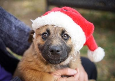short-coated brown puppy wearing santa hat elf teams background