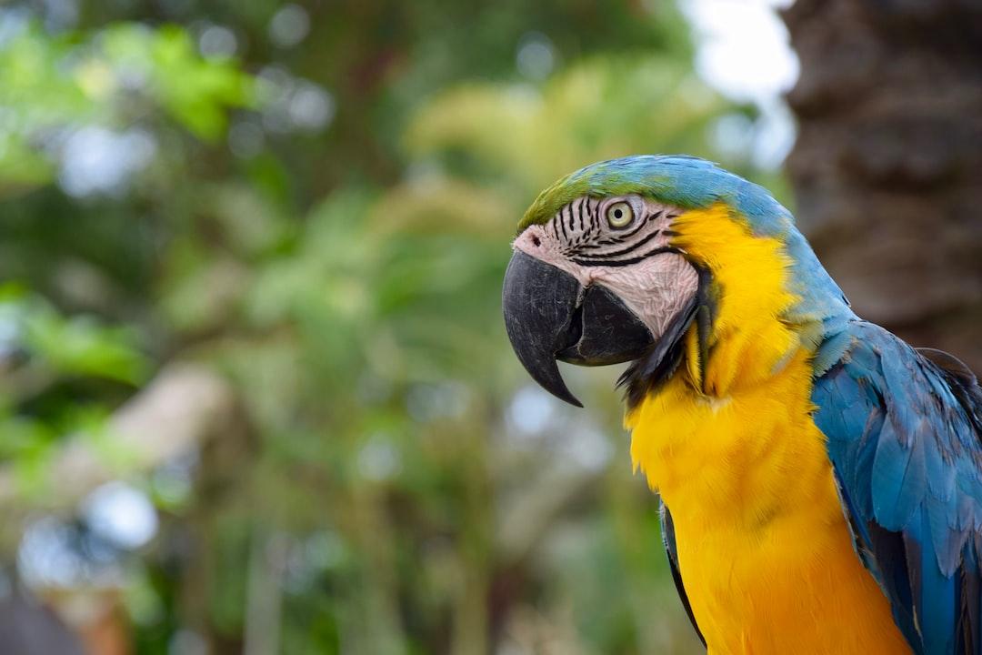 Parrot King of Bali