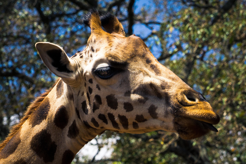 macro photography of giraffe
