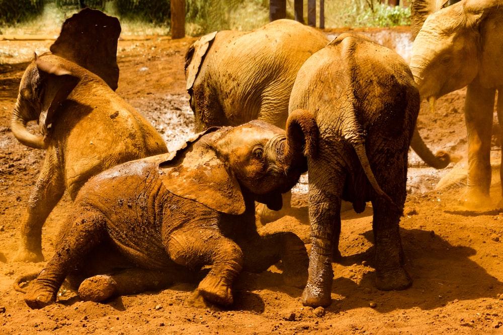 gray elephants on brown sand