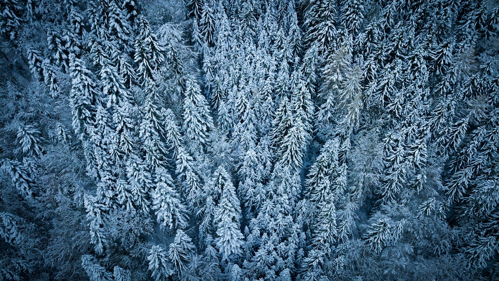 aerial view photography of snow-covered pine trees
