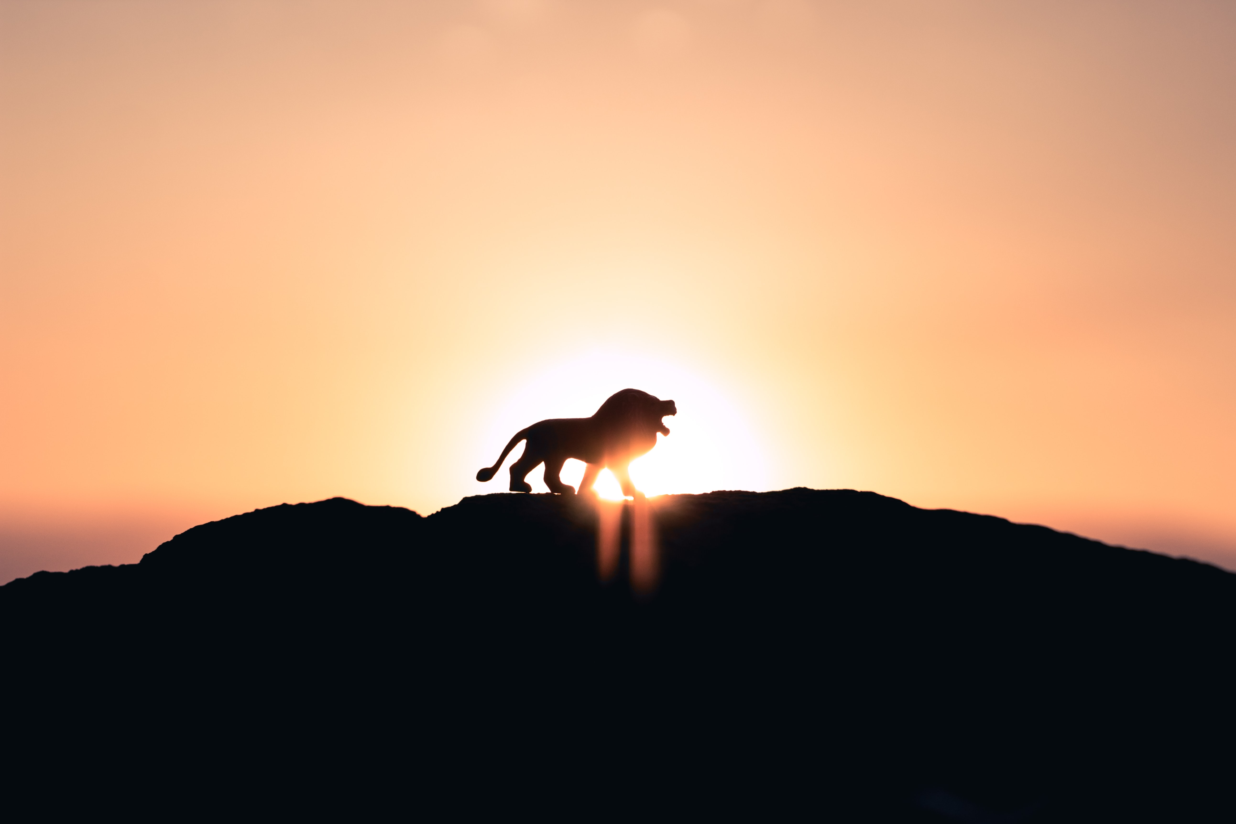 lion roaring on top of mountain during golden hour