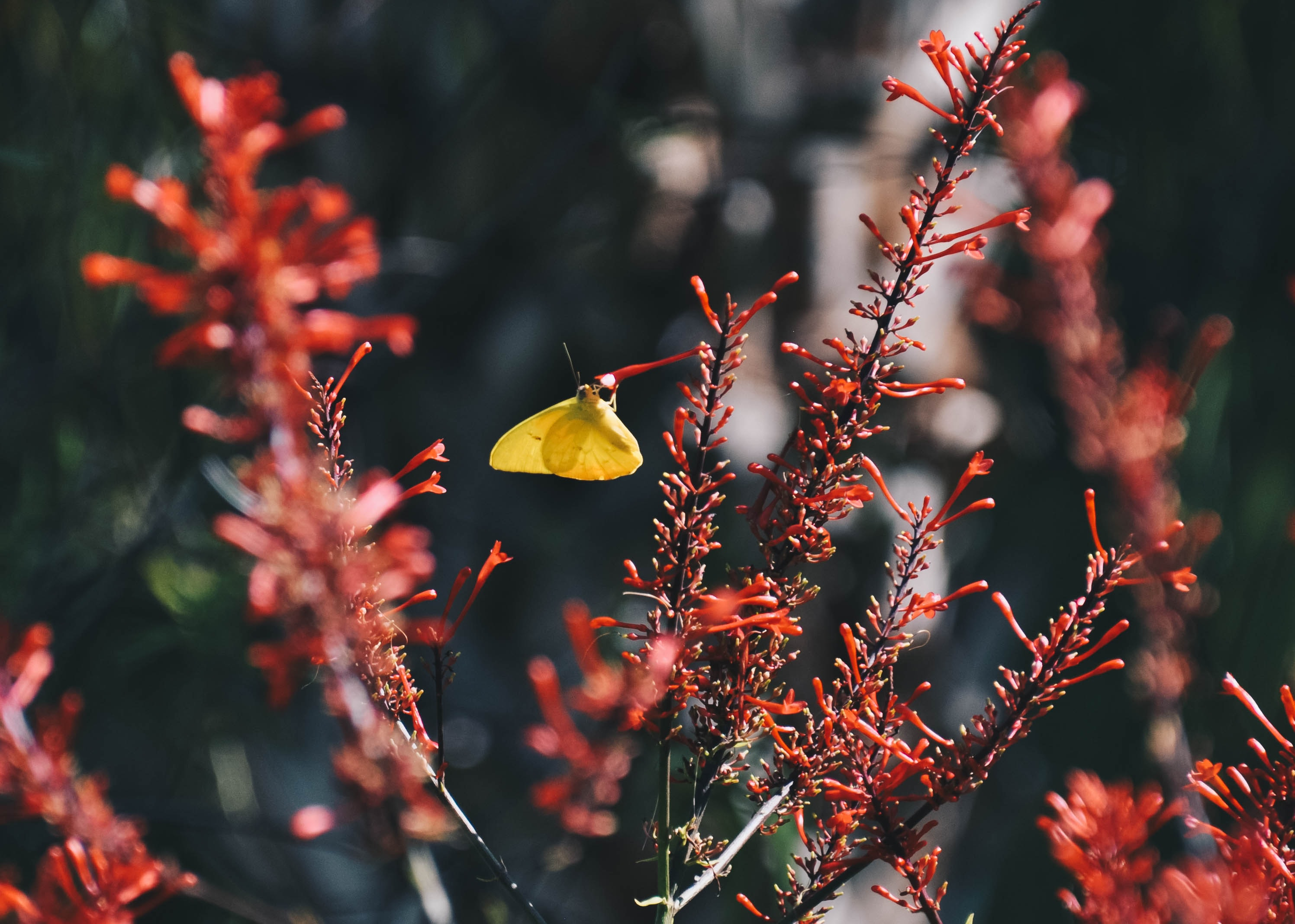 selective focus photography of yellow butterfly perched on red flower bud
