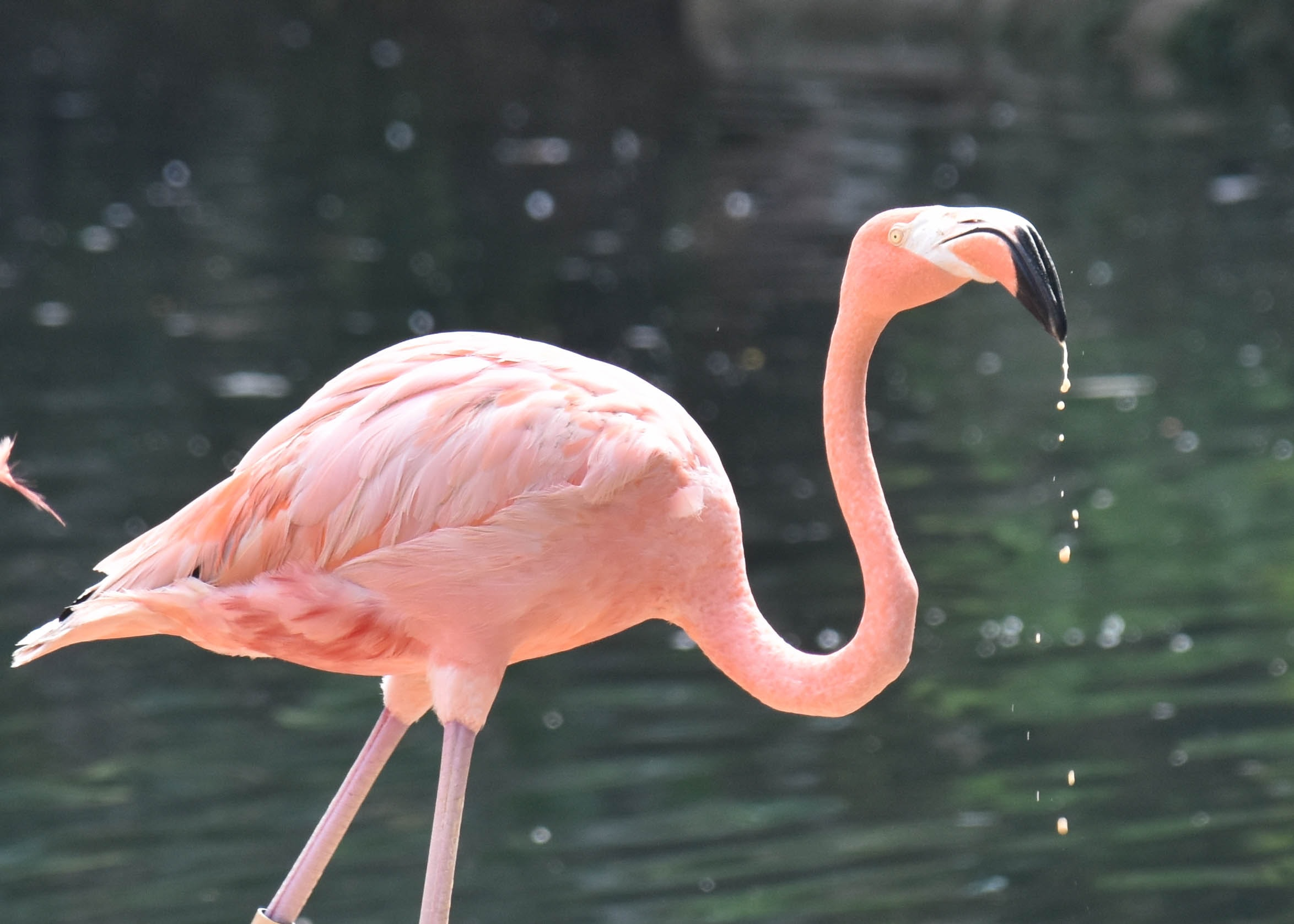 pink flamingo on body of water