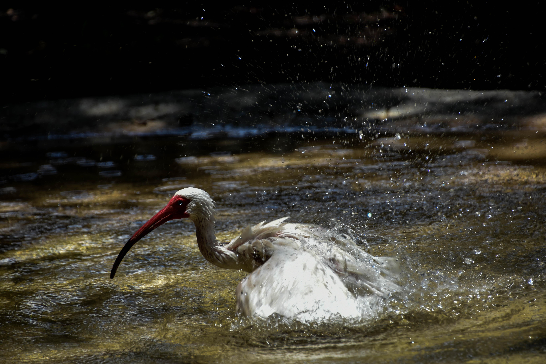 white stork taking a bath