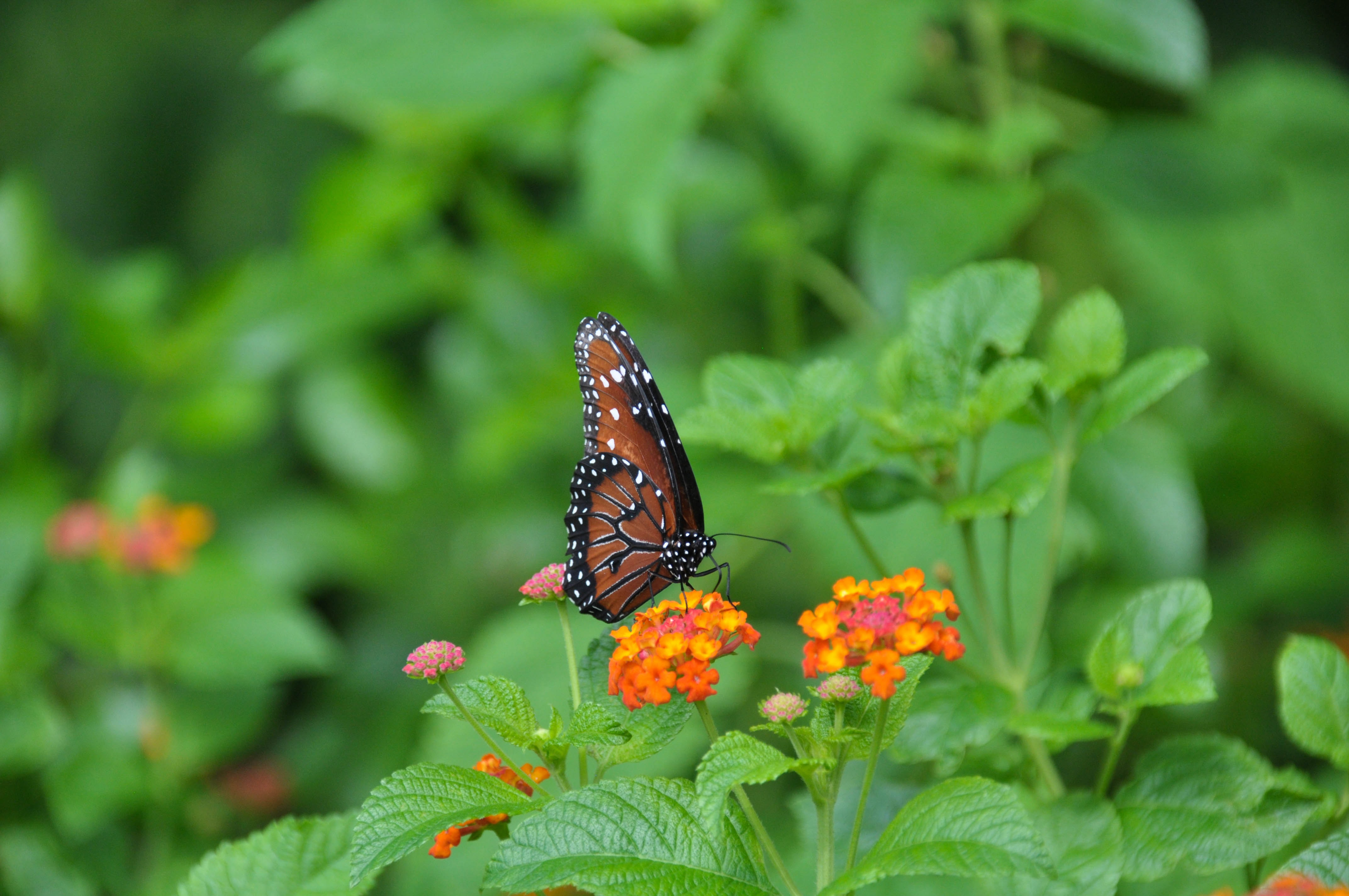 brown and black pollinating on orange petaled flower