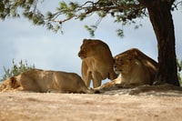 three lioness laying under green leafed tree