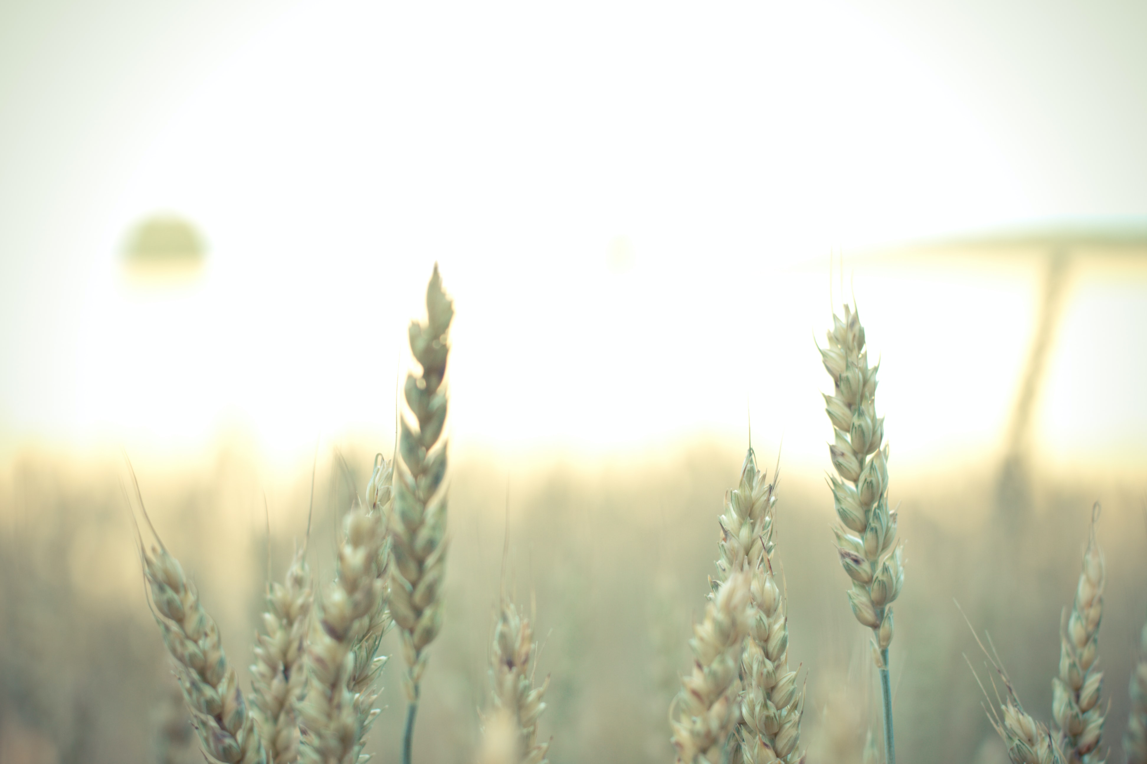 shallow focus photography of wheat