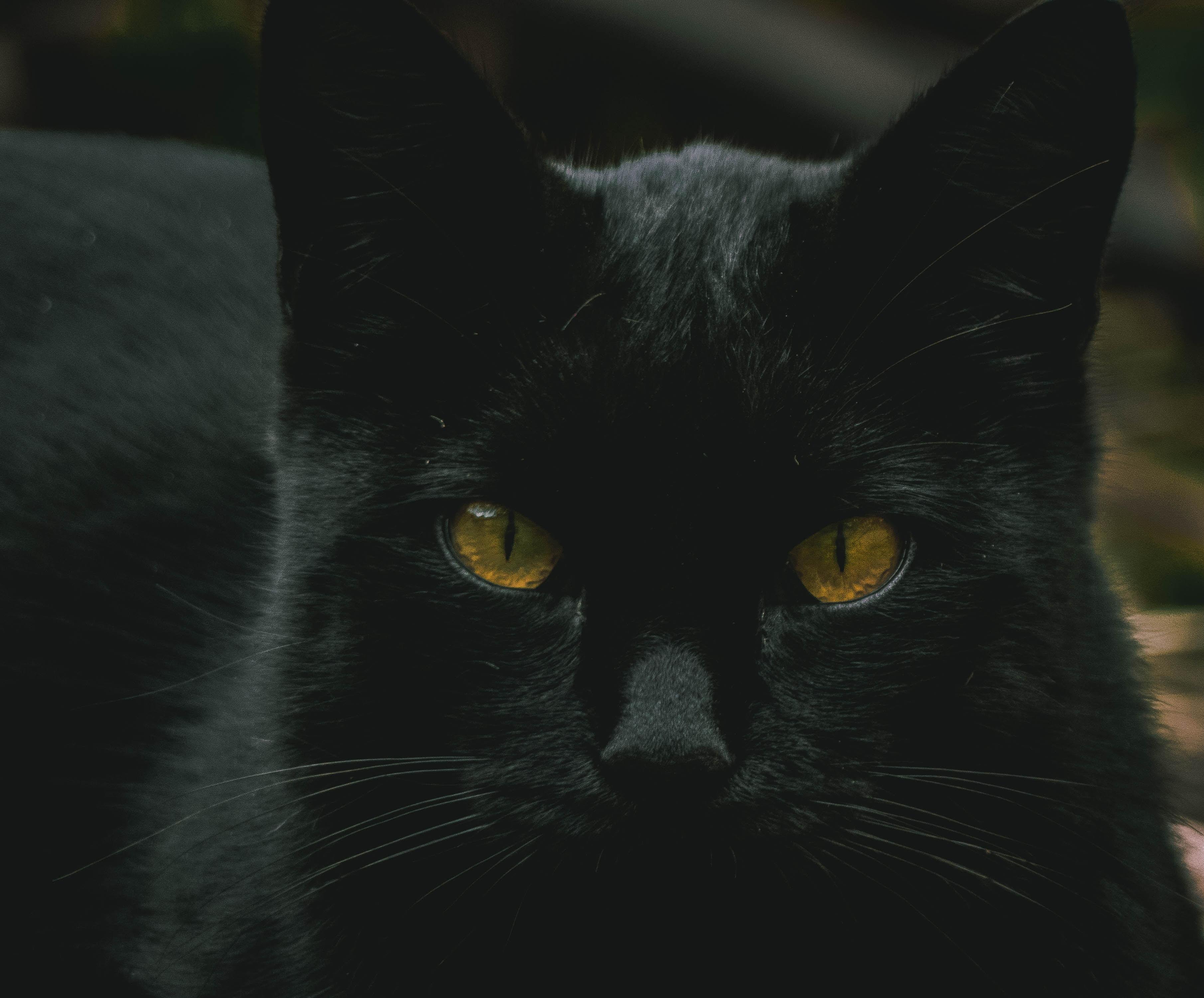 closeup of black cat