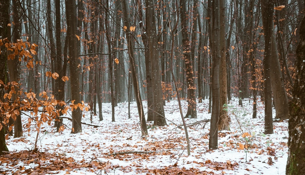 brown trees covered with snow