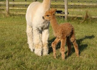 two brown alpacas