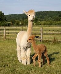 Baby Balthazar on the day of his birth, keeping close to his experienced Mum and getting to know the rest of the herd.