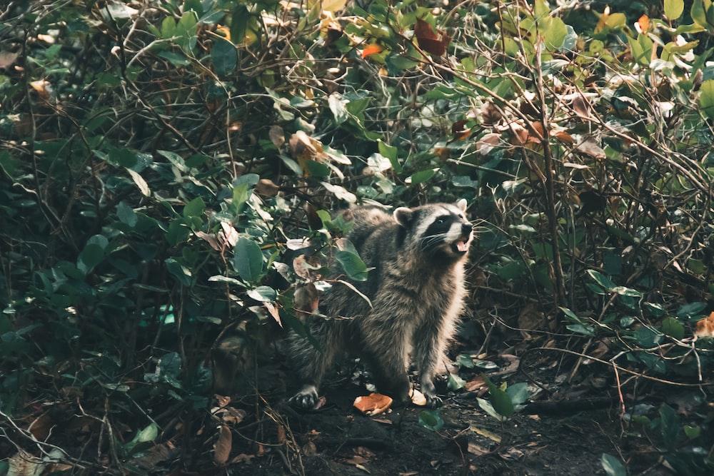 grey raccoon