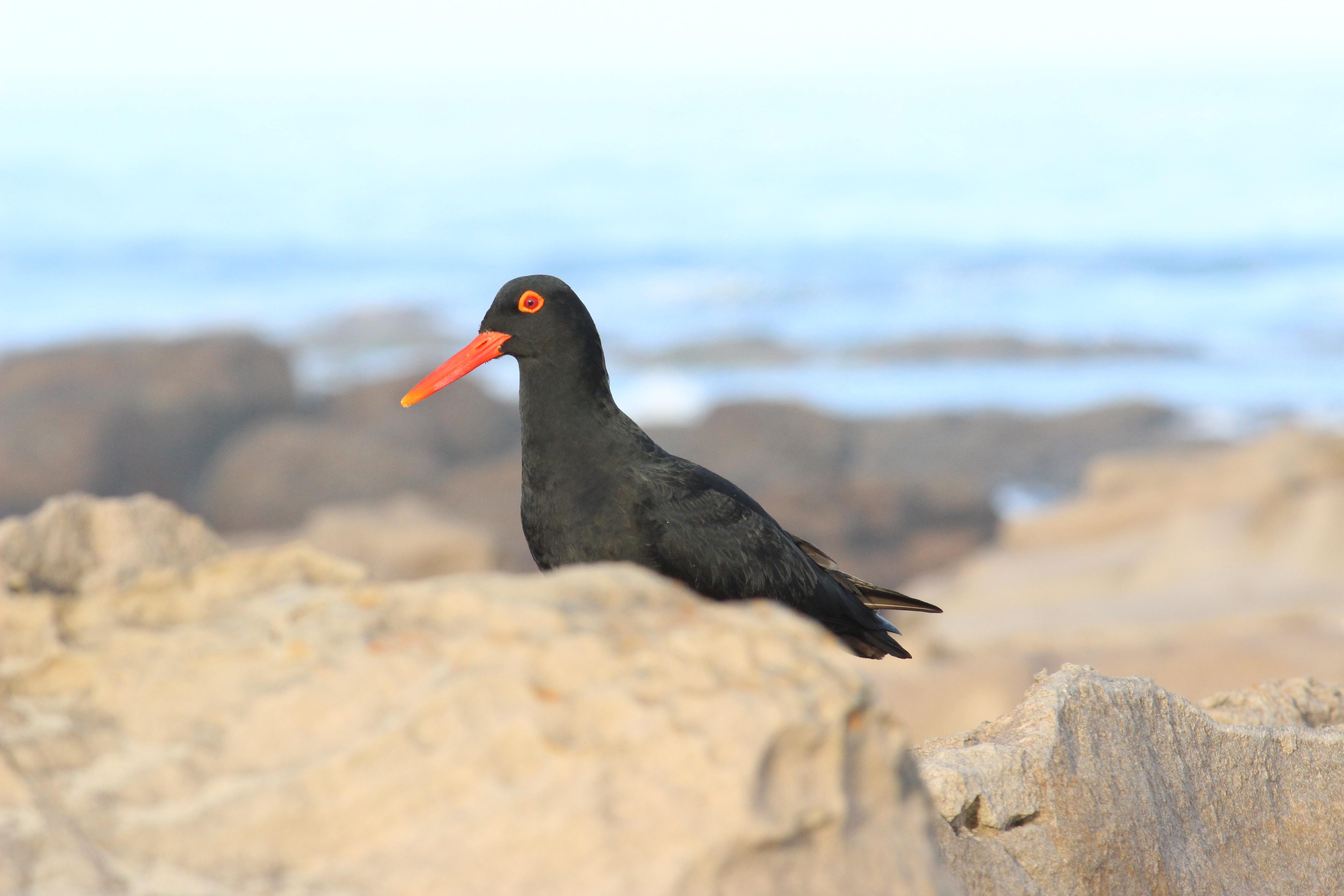 selective focus photography of black and orange bird
