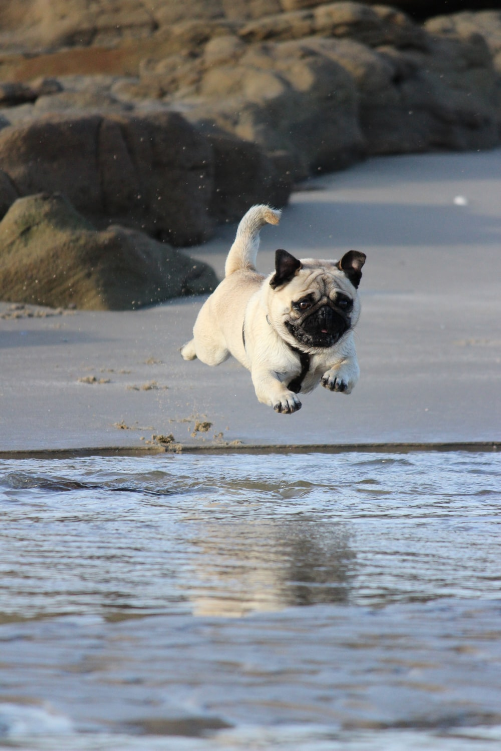 fawn pug jumping on water