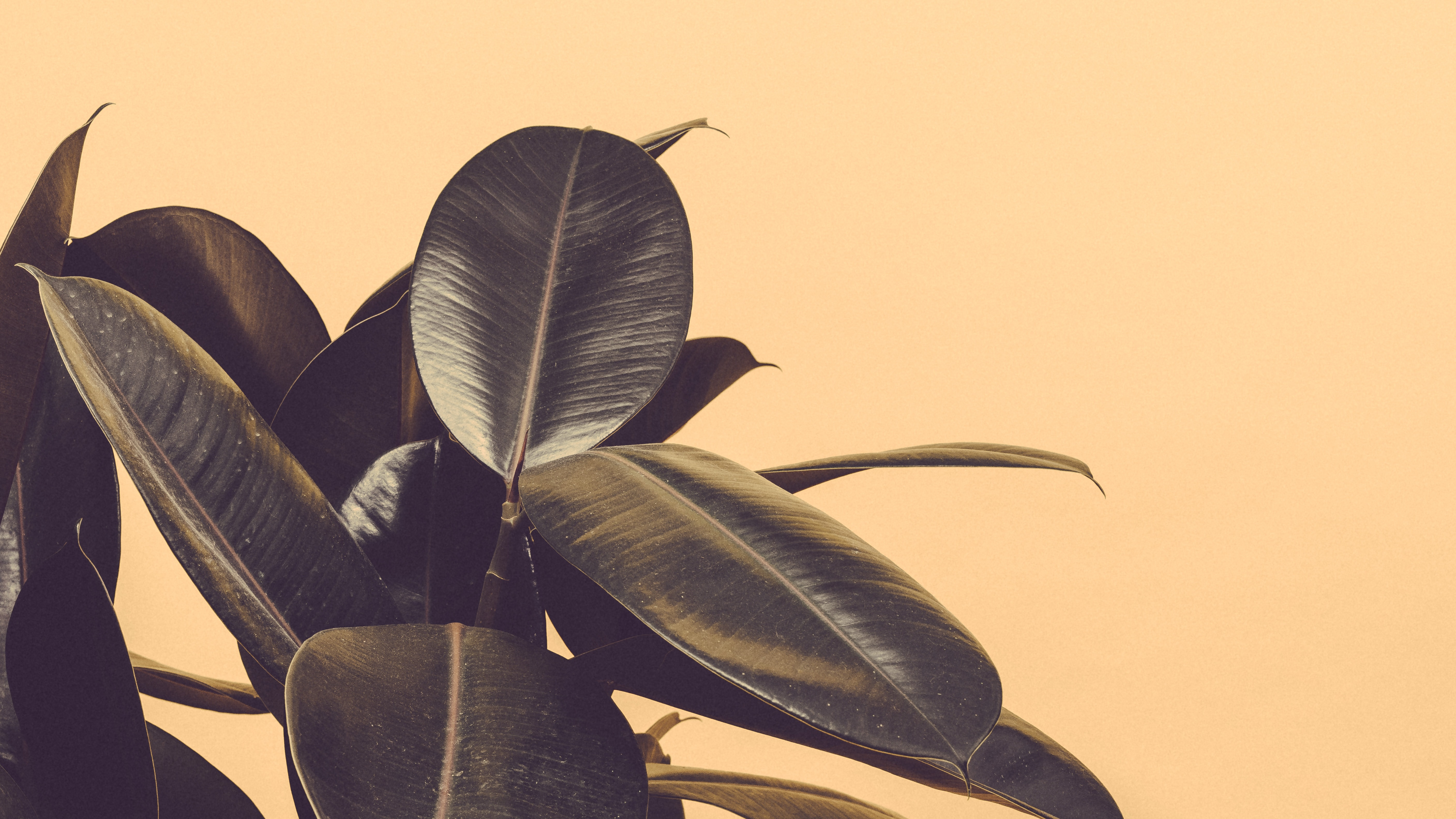 green rubber plant near white wall