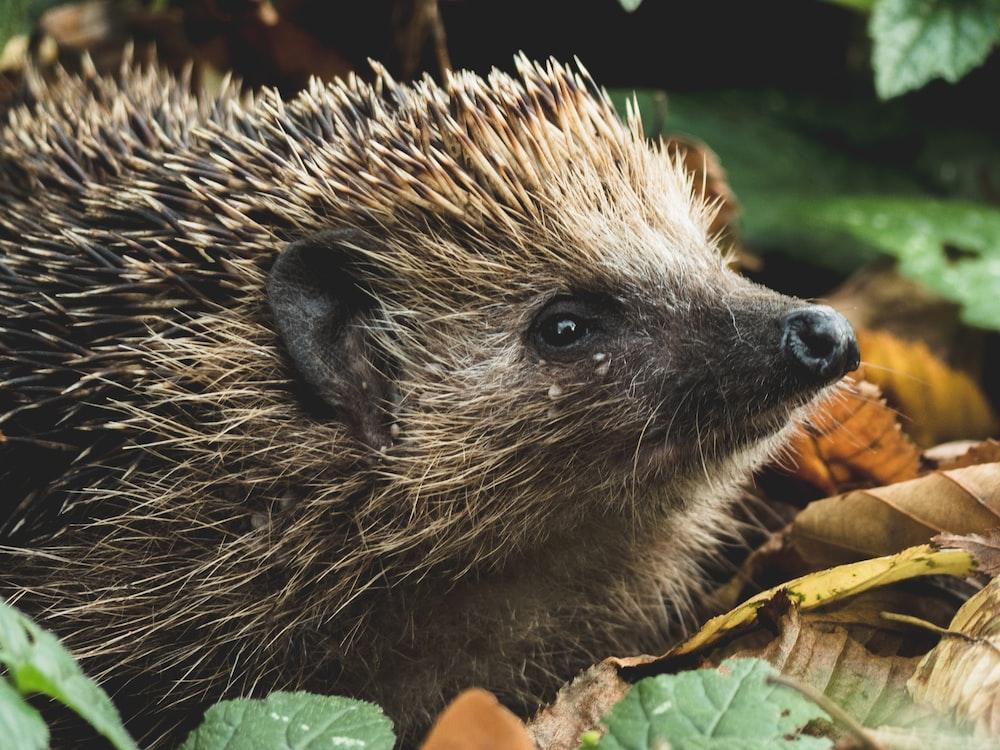 brown hedgehog on dried leaves