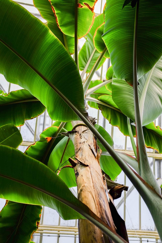 low angle photography of banana plant