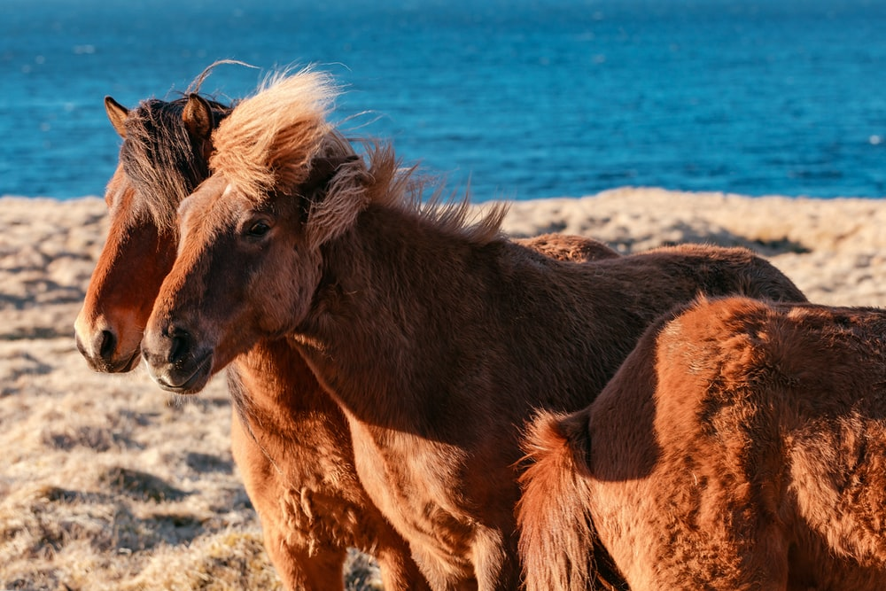 two brown horses on brown sand