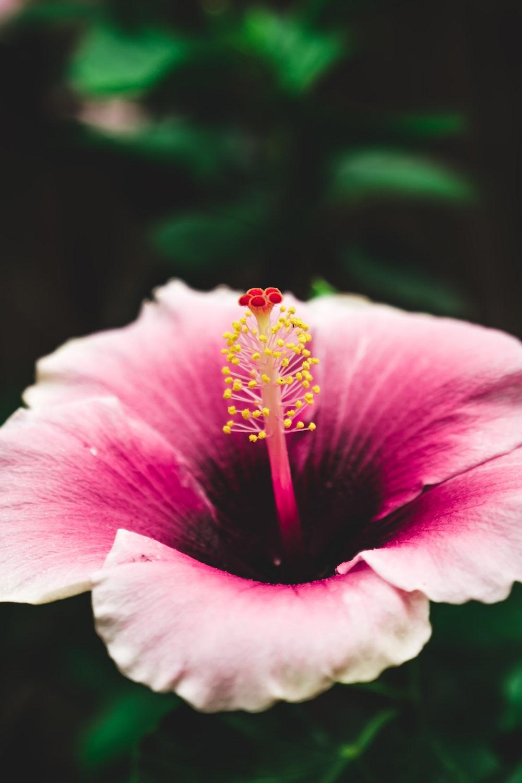 closeup photo of pink hibiscus flower