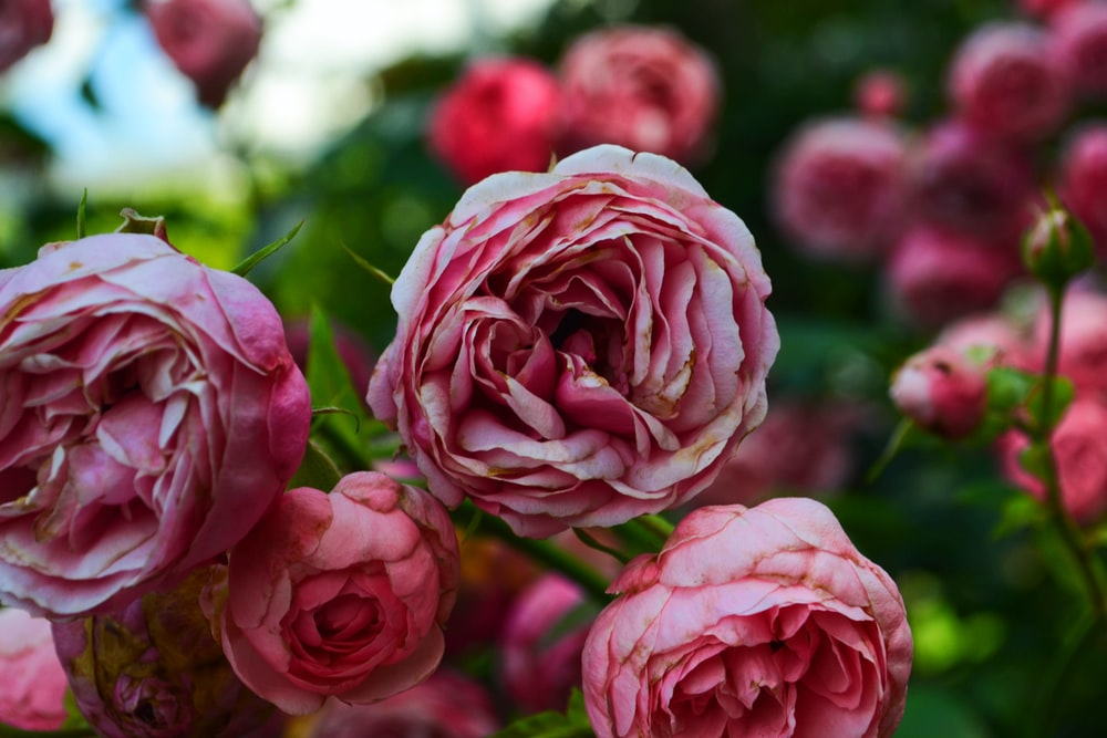close-up photography of pink petaled flowers