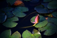 red lotus flower on body of water