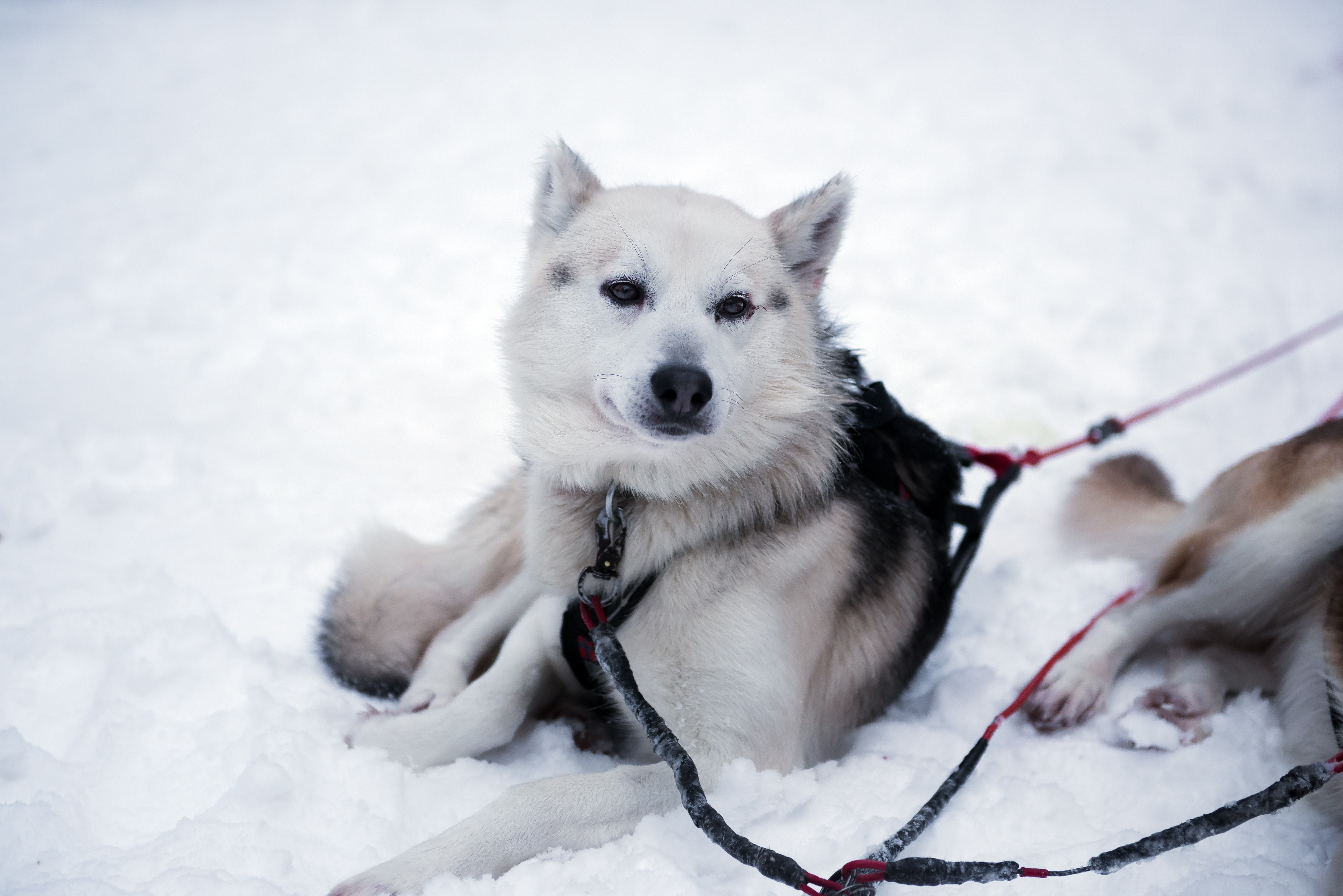 white and black dog lying on snow