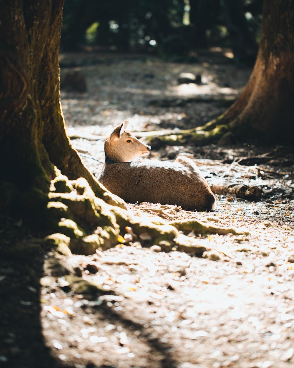 brown animal laying down on ground during daytime
