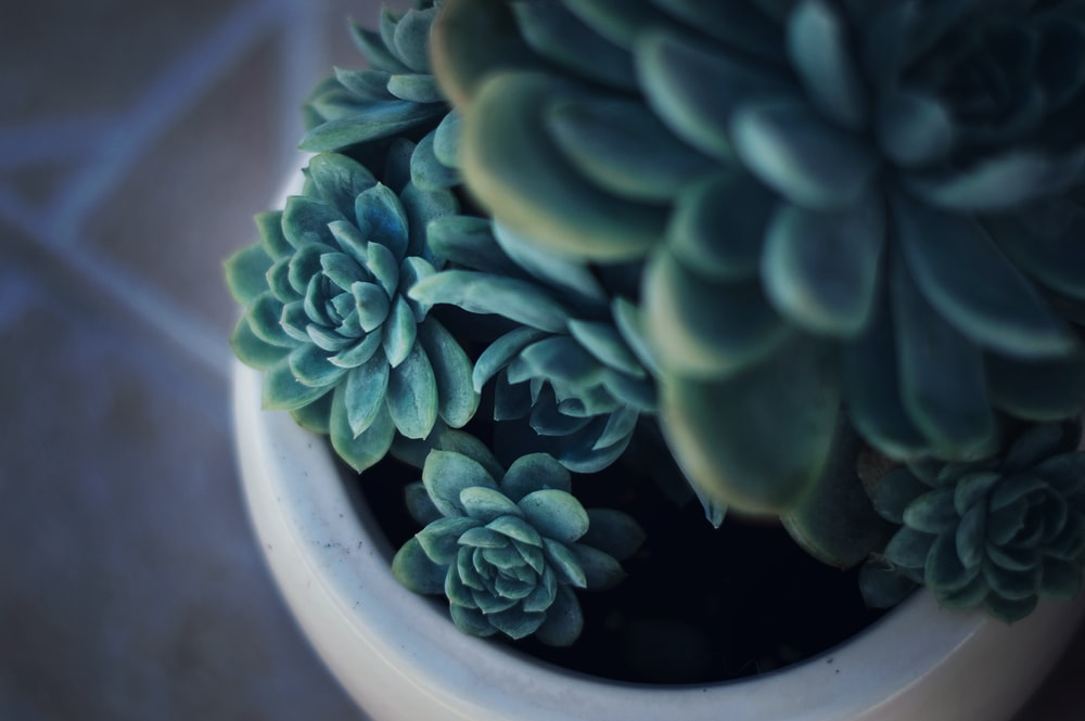 selective focus photography of green succulent and white ceramic pot