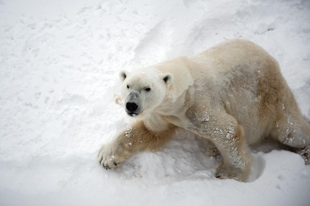 polar bear on snow