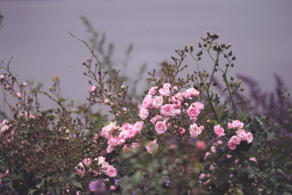 selective focus photography of pink petaled flower plants