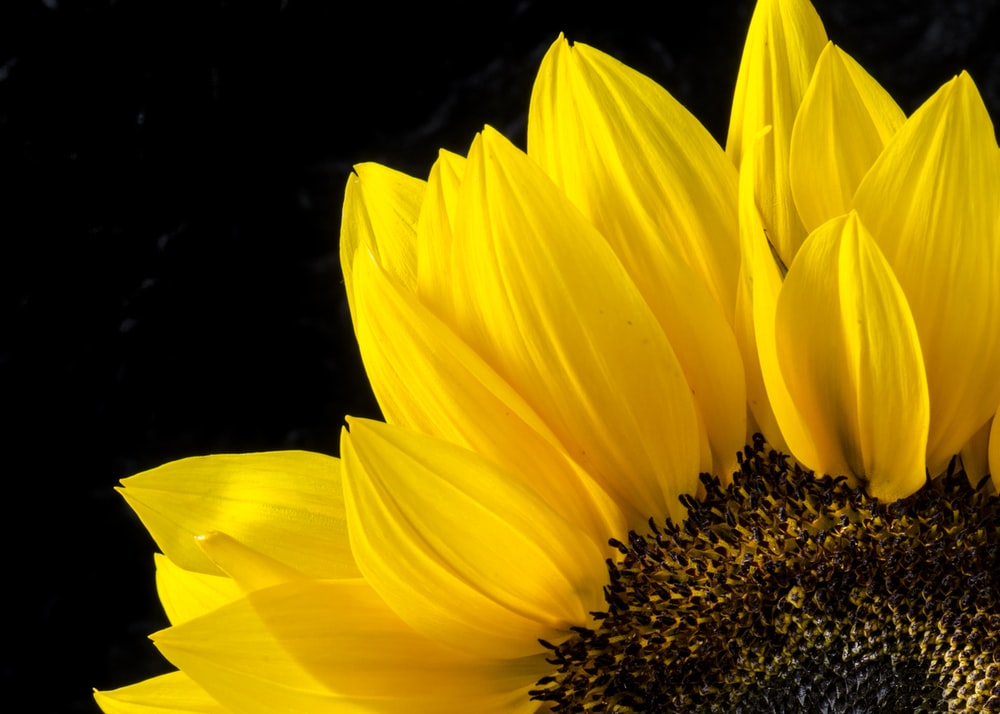 close up photography of sunflower