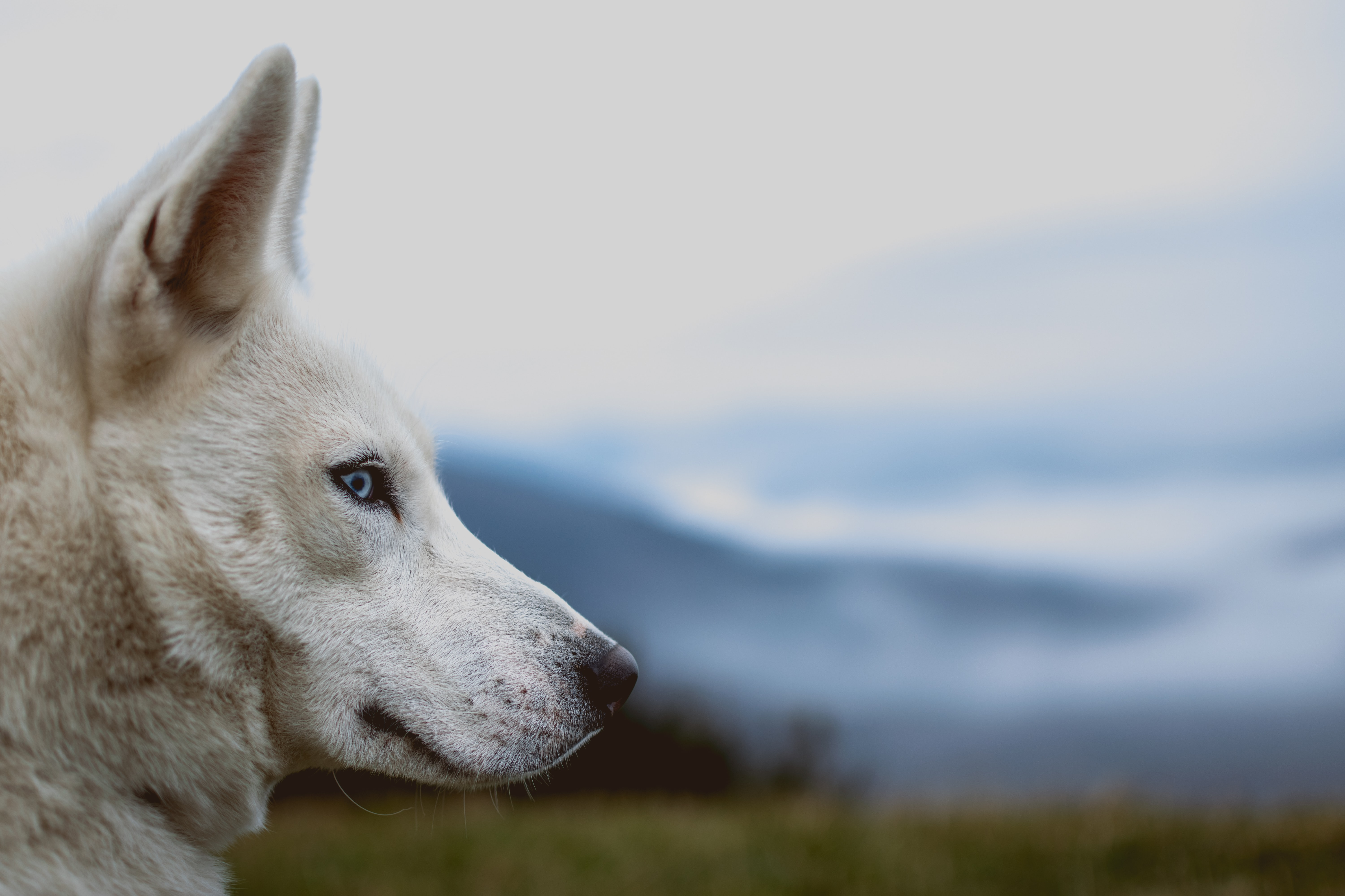 white wolf in close-up photography at daytime