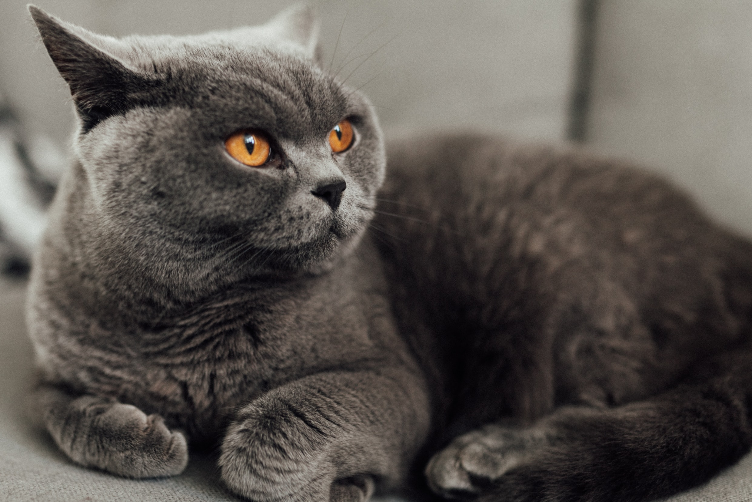 macro photography of grey cat