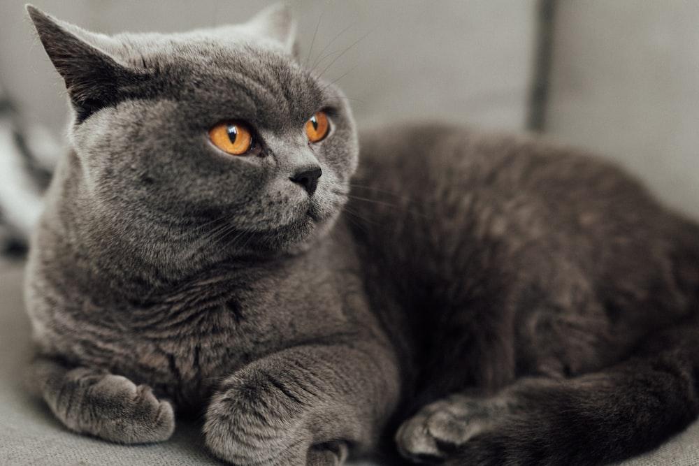 macro photography of grey cat