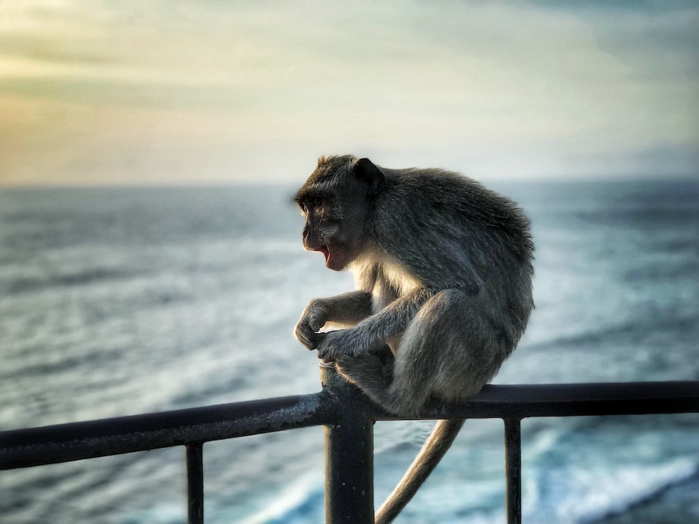 brown monkey sitting on the black fence photography