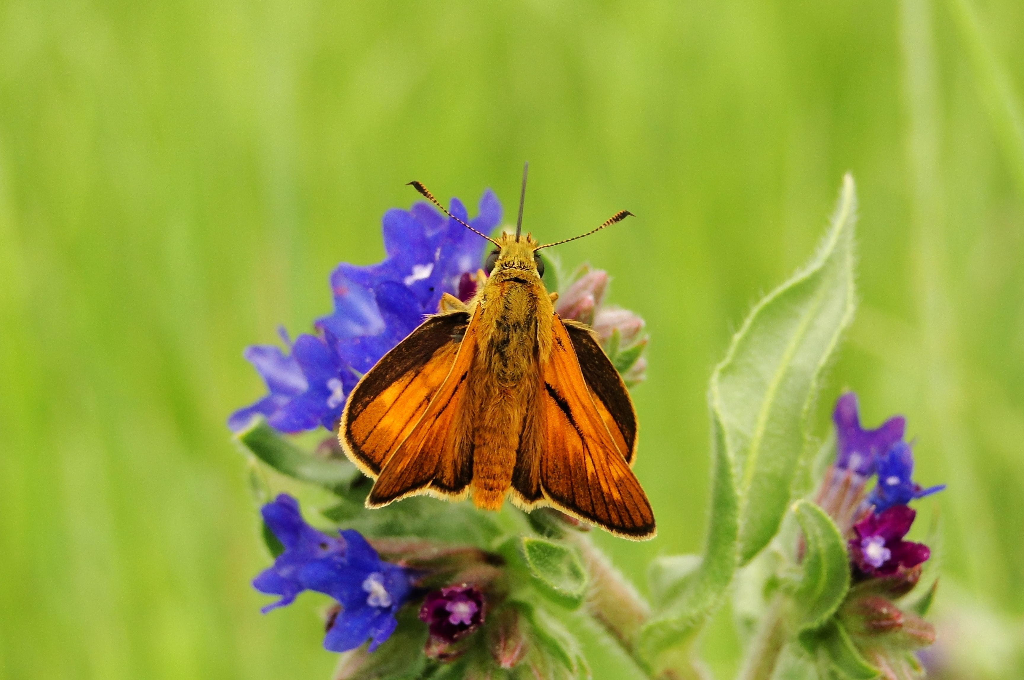 brown and black moth perched on purple flower