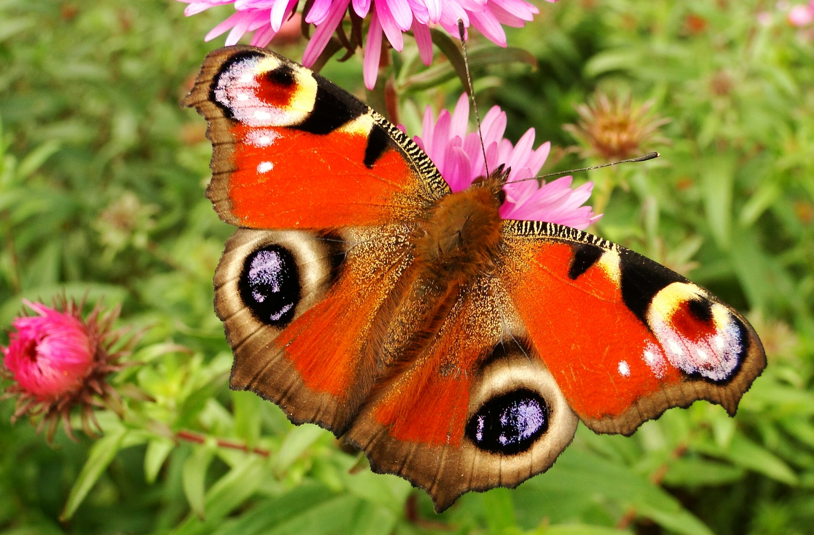 red and brown moth perching on pink flower during daytime