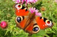Rusałka pawik i kwiaty w ogrodzie