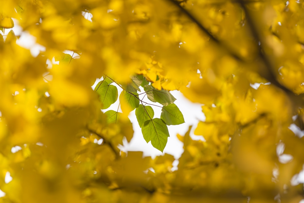 yellow leaves near green leaves