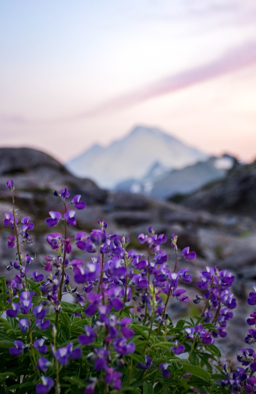 purple petaled flower near mountain range under gray clouds at daytime