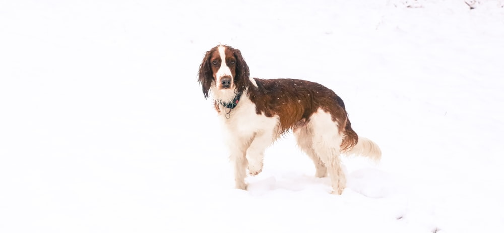 long-coated brown and white dog walking on sand