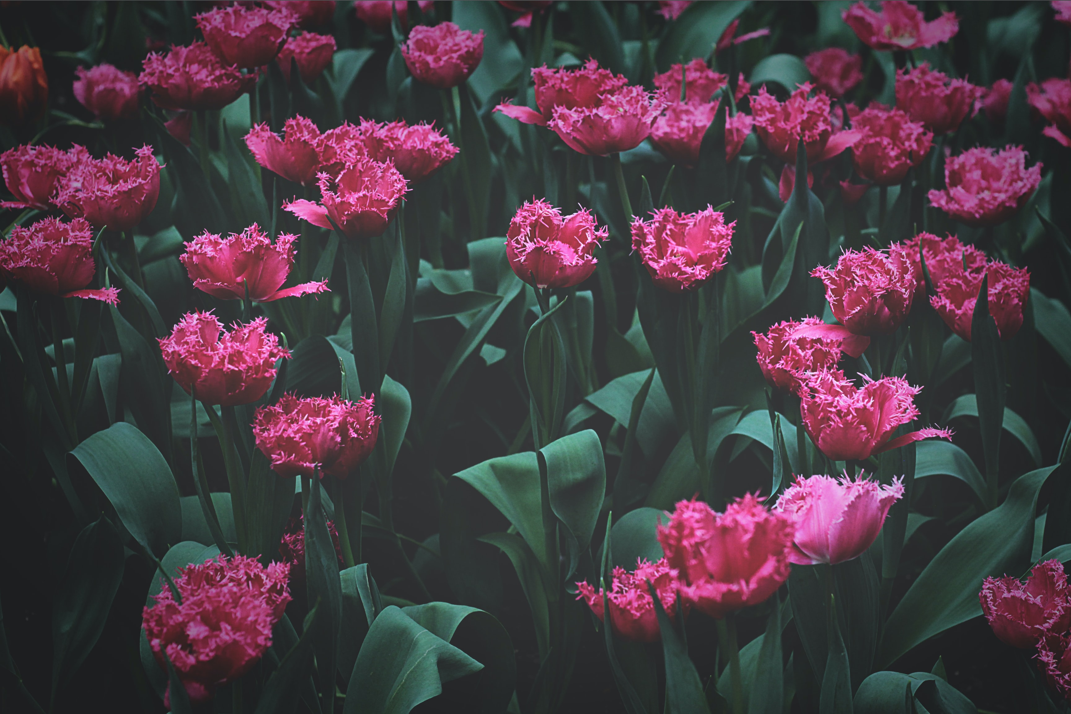 pink and red jagged tulip flower field