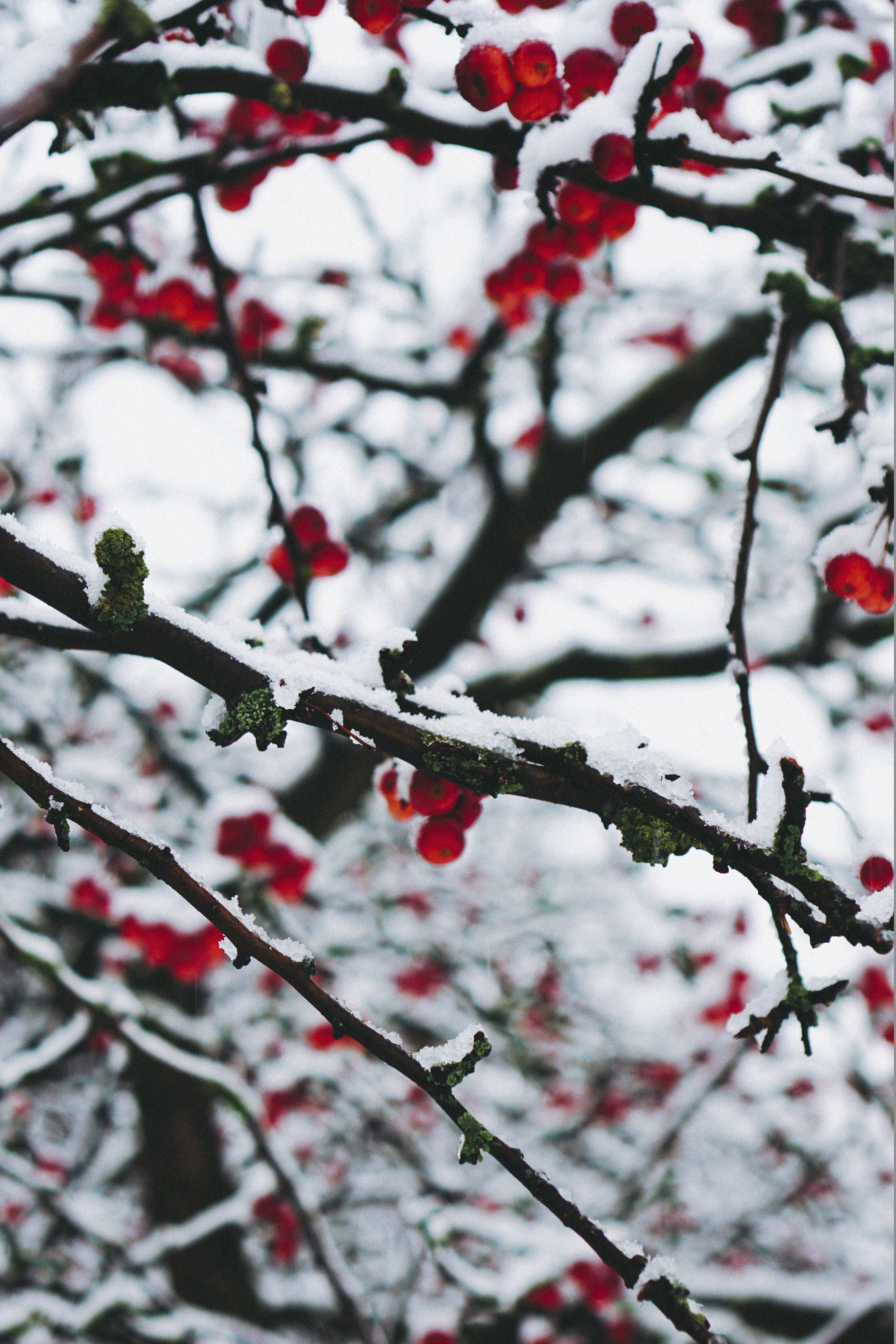 winter photography ideas using natural contrast between bright berries and the snow