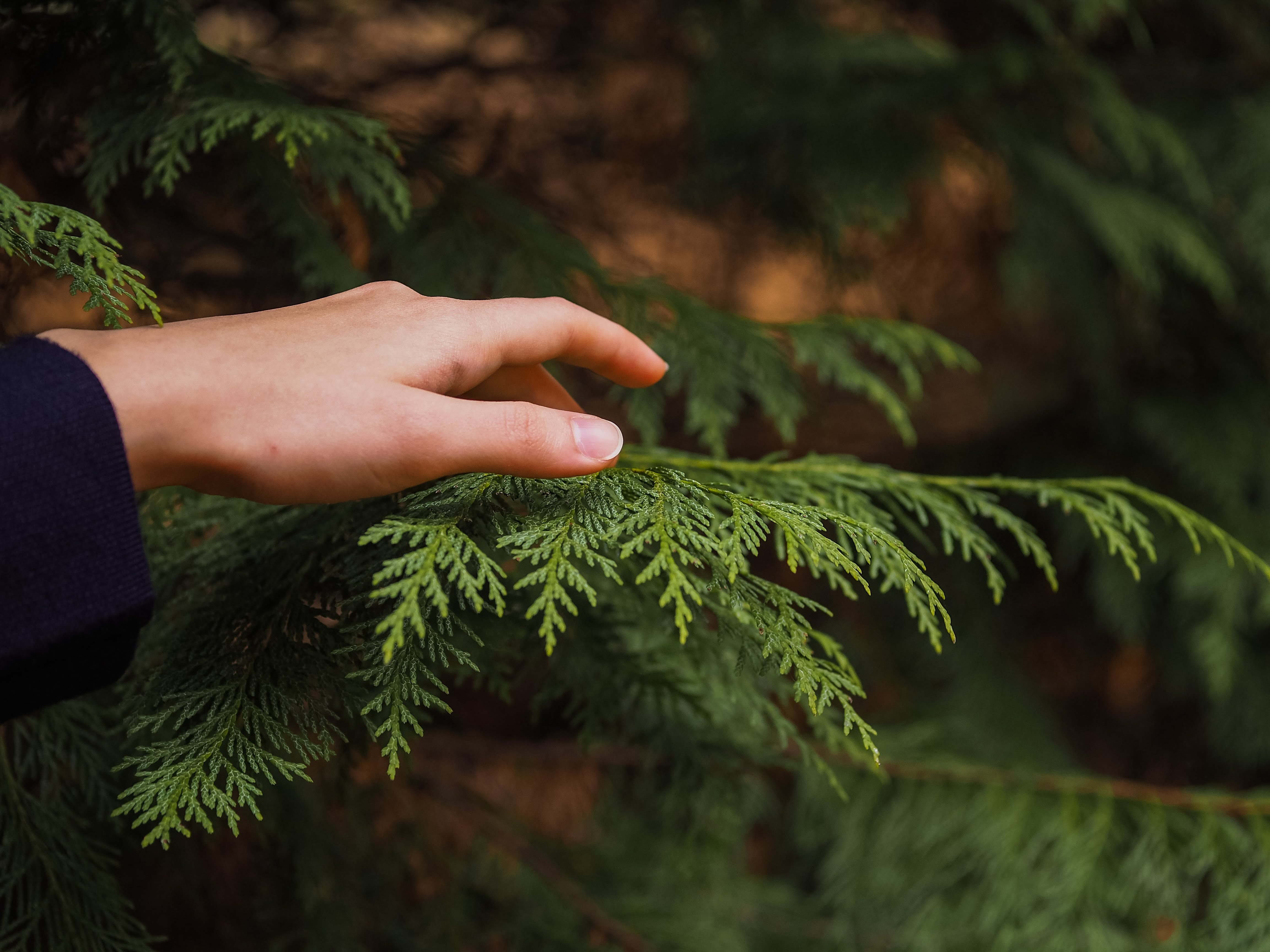person touching the Arborvitae palm leaves