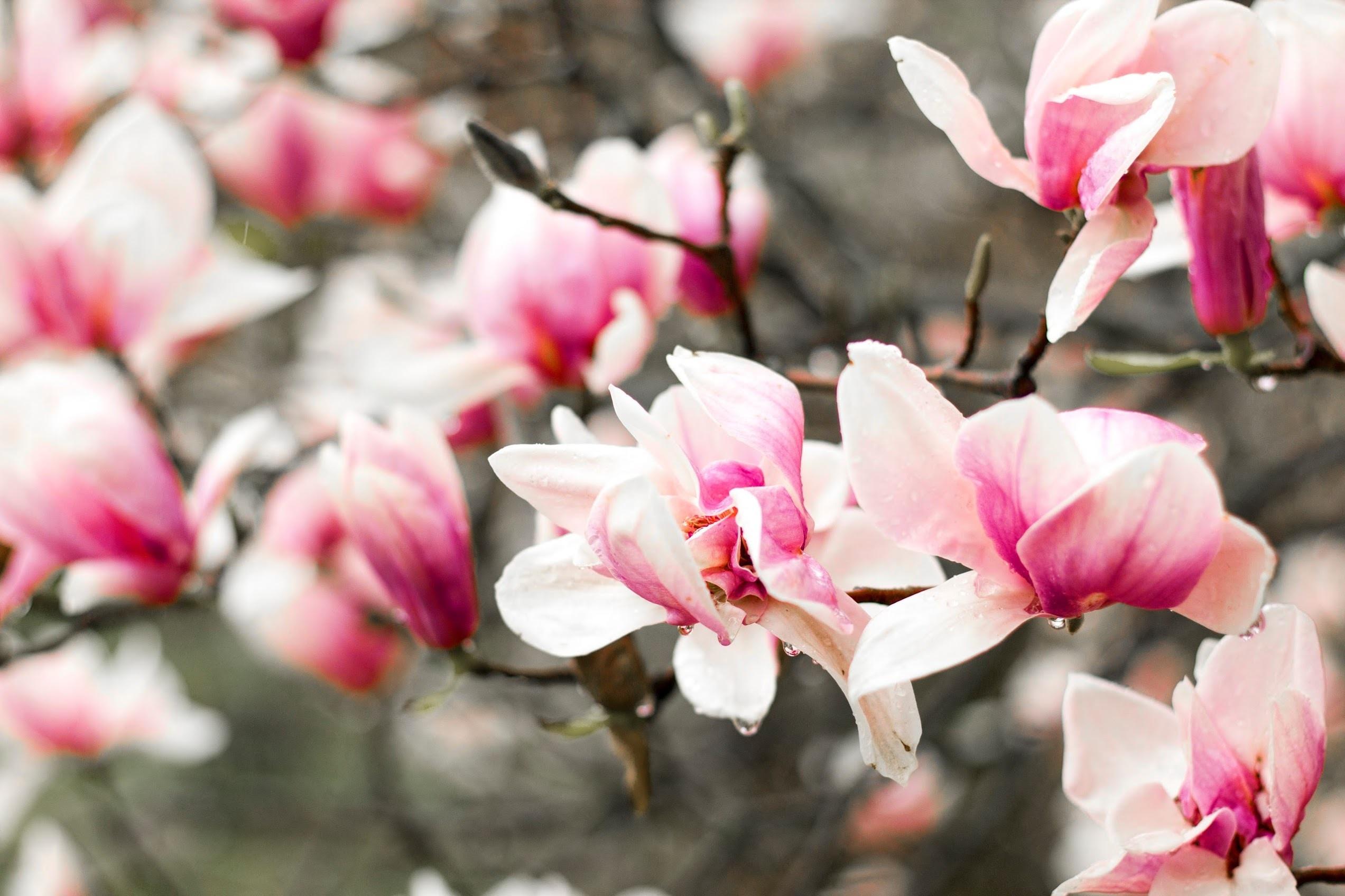 closeup photo of cherry blossoms
