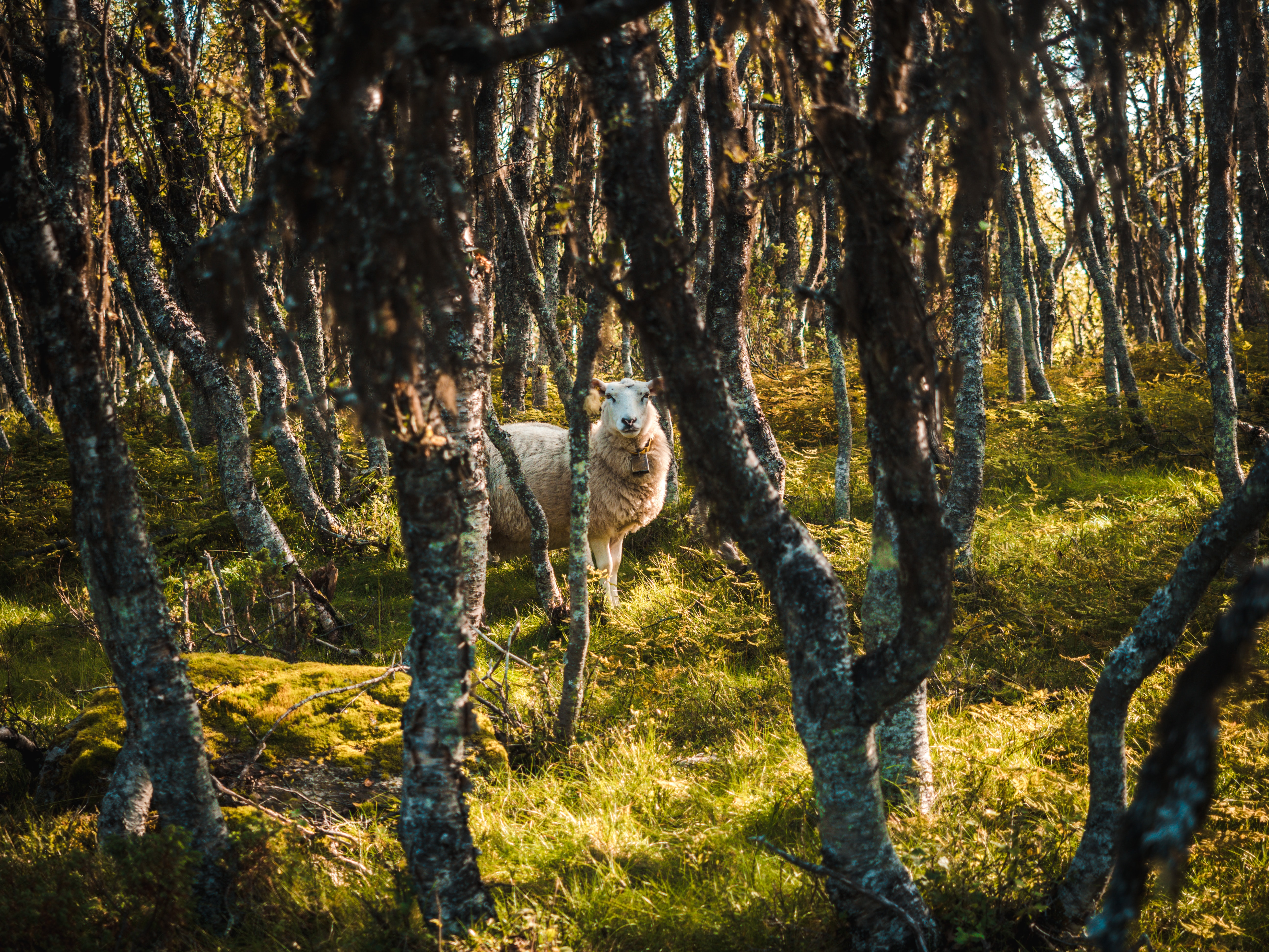 beige sheep in woods at daytime